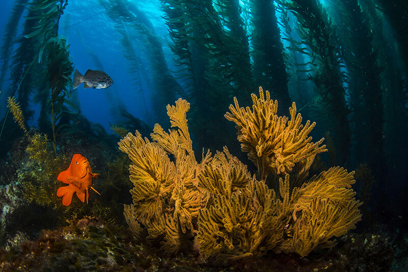 Fish swim in a kelp forest