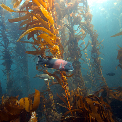 A kelp forest